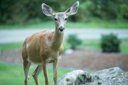 deer-12