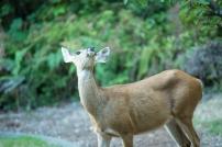 deer-17